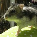 La cage et l'enclos recommandés pour des hamsters nains