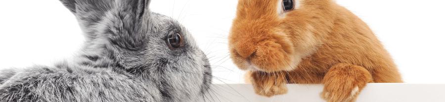 Choisir son lapin : mâle ou femelle ?