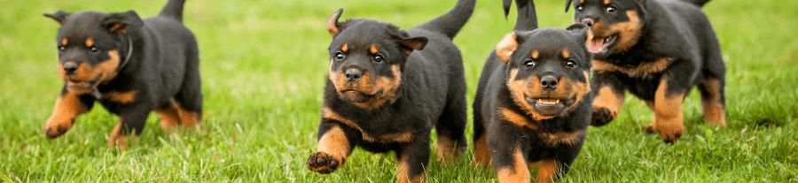 Attention aux vols de chiens !