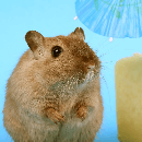 Maladies et santé du hamster