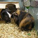 Le cochon d'inde et son habitat