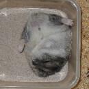 La toilette du hamster