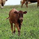 La vache à la ferme