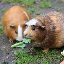 Cochon d'inde : Guide d'alimentation