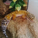Mon animal de compagnie est un gecko