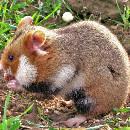 Le hamster européen en danger
