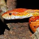 Élever un serpent des blés