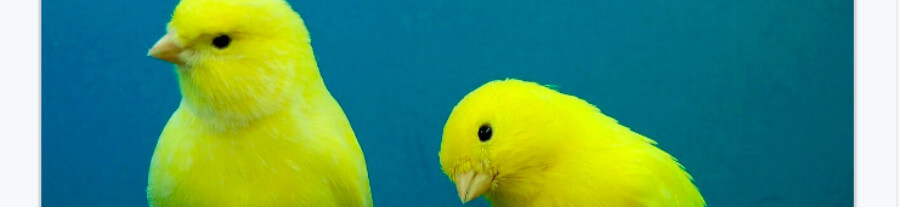 Adopter un canari comme oiseau de compagnie