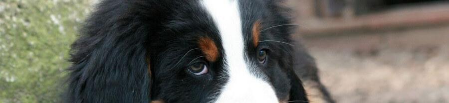 Pourquoi mon chien me regarde fixement ?