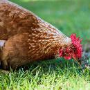 Quelle alimentation pour ma poule pondeuse ?