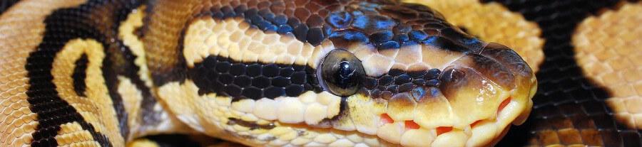 Adopter un python royal