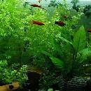 10 plantes d'aquarium à croissance rapide