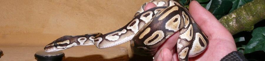Conseils pour aménager et entretenir le terrarium pour serpent