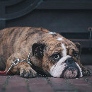 L'obésité chez le chien : quels sont les facteurs de risque ?