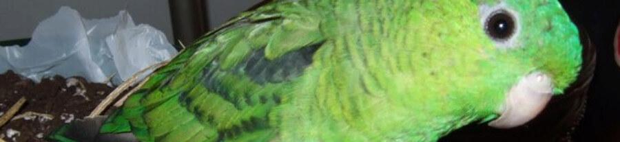 Adopter un Touï Catherine comme oiseau de compagnie