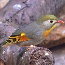 Top 5 d'oiseaux domestiques chanteurs