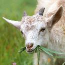 L'alimentation des chèvres