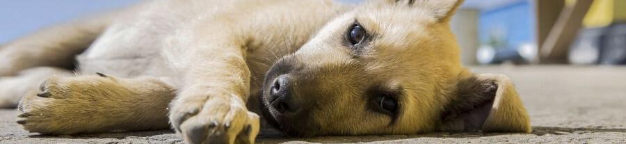 L'identification pour chien
