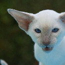 Nettoyer les oreilles du chat