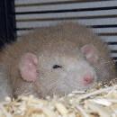 La santé du rat : quelques bases