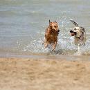 Le tempérament du chien