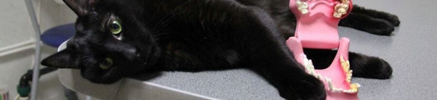 Ce chat handicapé travaille dans une clinique vétérinaire