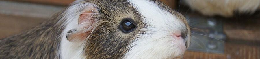Pourquoi mon cochon d'Inde fait-il du bruit ?