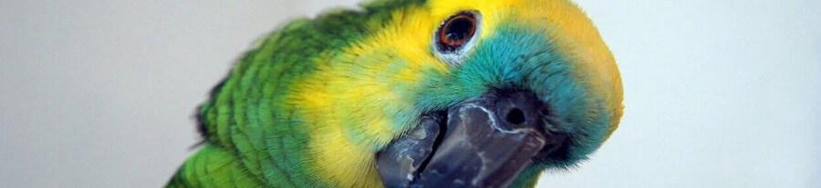 Adopter un perroquet Amazone comme animal de compagnie