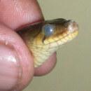 La mue chez les serpents : fiche conseil