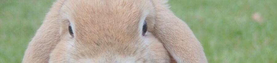 Comment éduquer un lapin bélier ?
