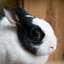 Mon lapin est obèse, comment le faire maigrir ?