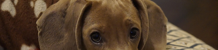 Que faire si mon chien a une otite ?
