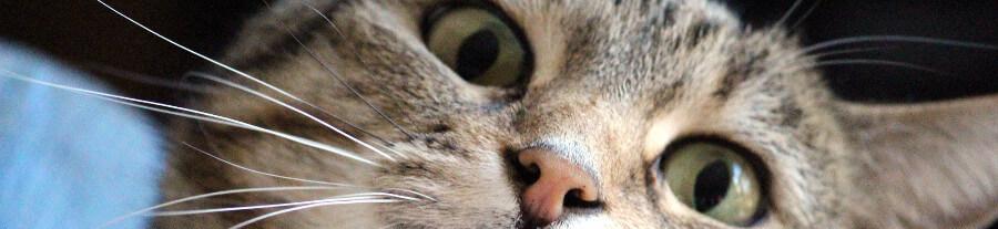 Le stress chez le chat: Symptômes et solutions