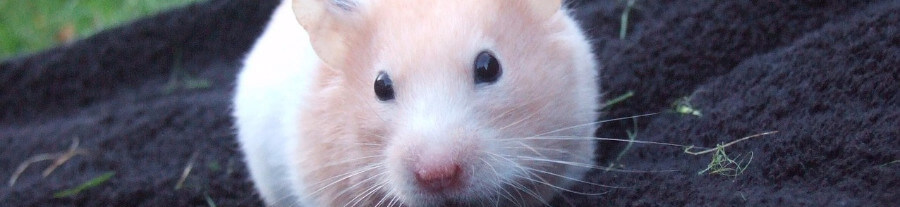 Mon hamster perd ses poils, comment réagir?
