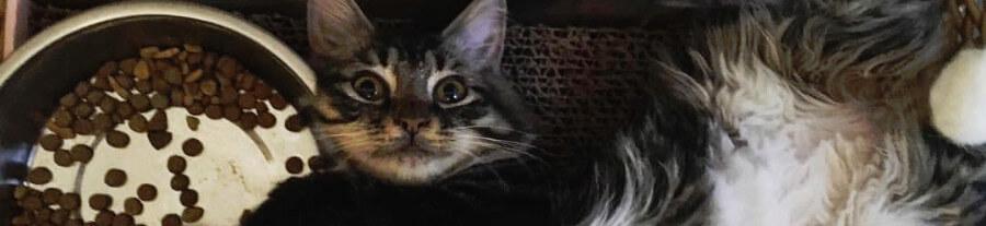 Roo, le chaton kangourou qui n'a pas de coude