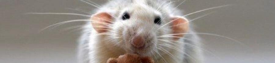 Les images du rat heureux