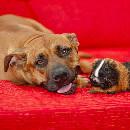 Cohabitation des cochons d'inde et des chats et des chiens