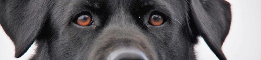 Votre chien grisonne prématurément face au stress