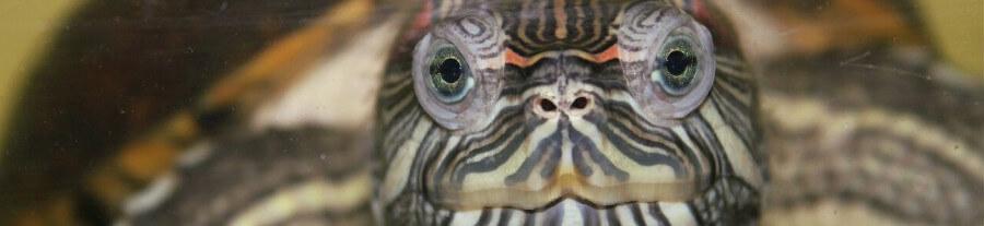 Vous souhaitez adopter une tortue d'eau ?