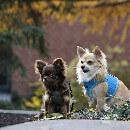 L'alimentation du Chihuahua : meilleures croquettes pour Chihuahua et leurs alternatives