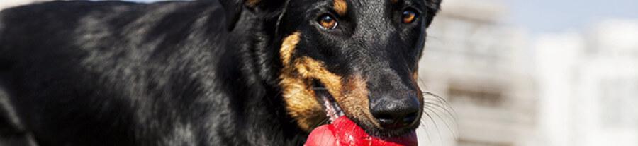 Jouet Kong pour chien: prix et utilisation