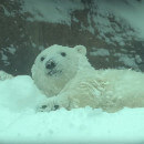VIDEO - Quand les animaux du zoo de Portland rencontrent la neige