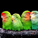 Top 10 des oiseaux domestiques les plus populaires