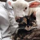 Une belle histoire d'amitié entre un agneau miraculé et une jolie chatte