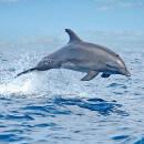 Le langage des dauphins ressemble à celui des humains