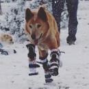Incroyable histoire: Naki'o, le chien bionique aux prothèses jambière