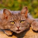 Miaulements du chat : signification et conseils