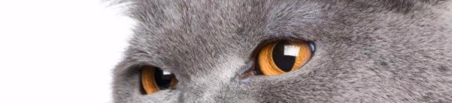 Découverte d'un cas de grippe aviaire transmise à l'Homme par le chat