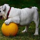 La dysplasie chez le chien