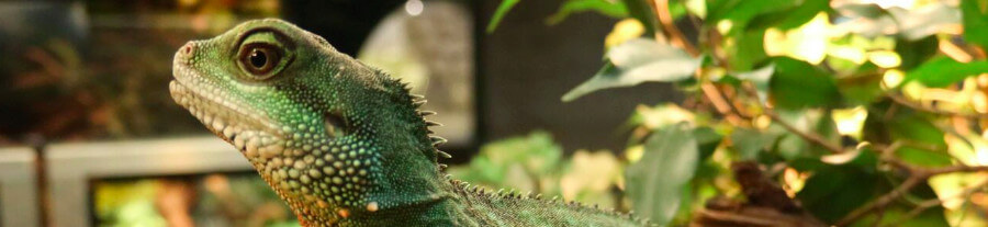 Adopter un iguane vert comme animal de compagnie